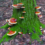 Ganoderma Known for Its Powerful Healing Abilities
