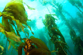 health benefits of sea kelp